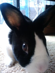 Black and white bunny nose